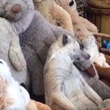 Meerkat Sleeping With Stuffed Animals | Video