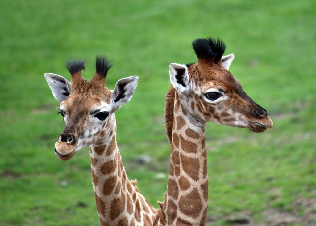 Visit the Longleat Safari Park and Maze in the United Kingdom