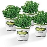 Lemon Balm Plants