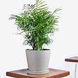 What to Shop: Potted Parlor Palm Indoor Plant