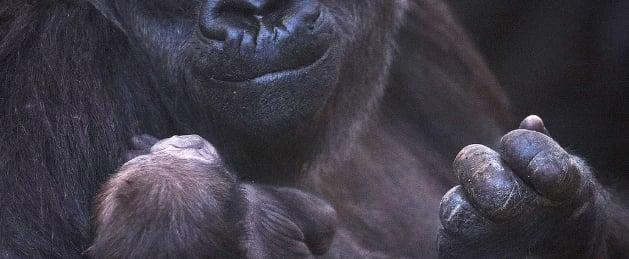 Baby Gorilla Born at Dublin Zoo