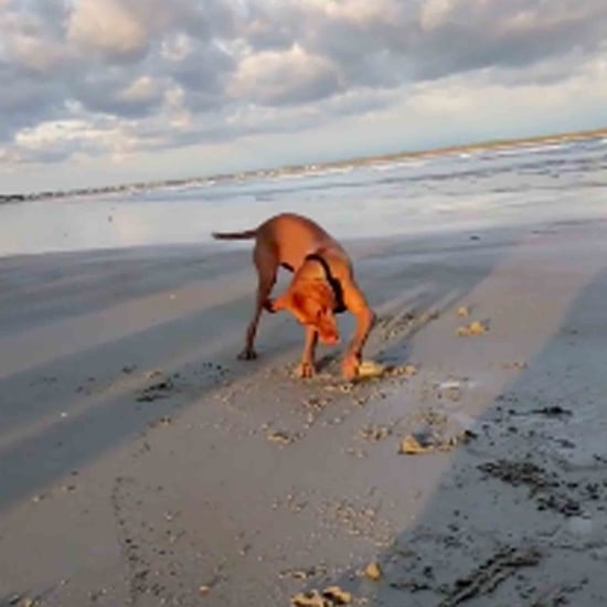 Video of a Dog Finding a Clam on the Beach