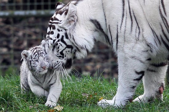 'Tis the Season: Wintry White Tigers