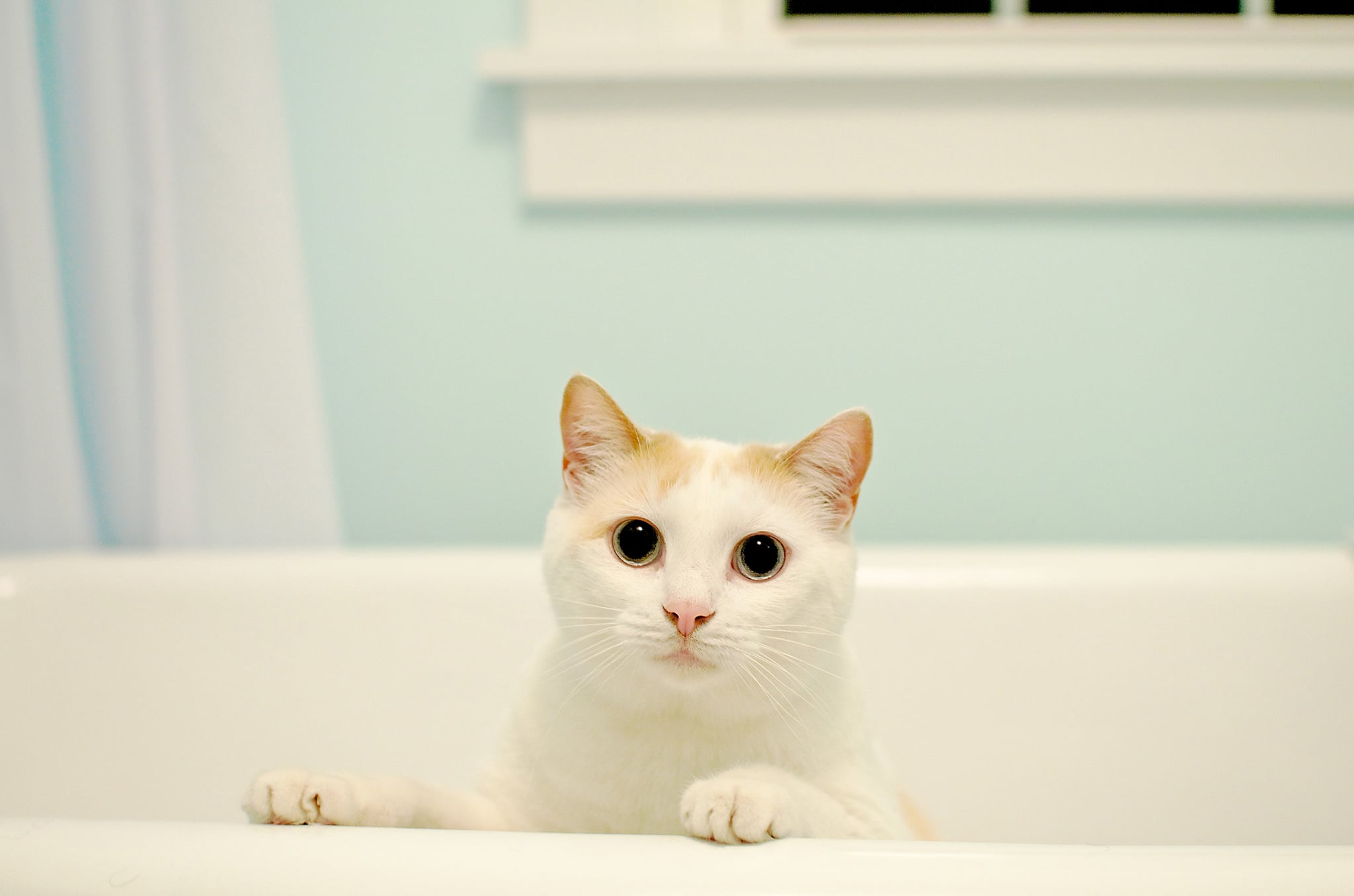 White cat standing in bath tub.