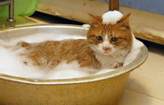 Laifu the Cat Takes Baths Three Times a Week