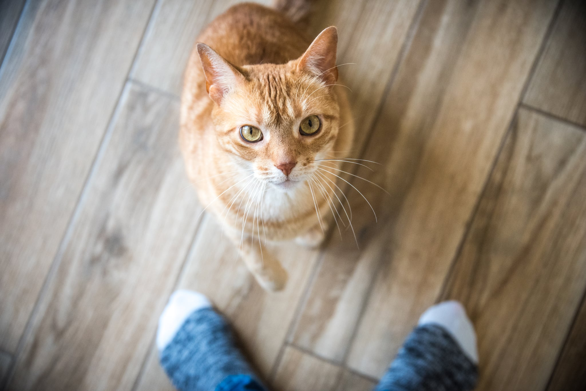 An orange tabby cat looks up at its owner, sock feet are visible