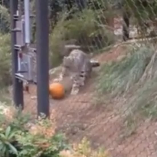 Snow Leopard Playing With a Pumpkin | Video