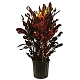 Croton Mammey Red
