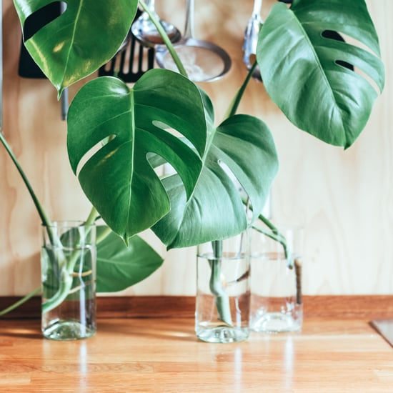 Monstera Plant Care Tips