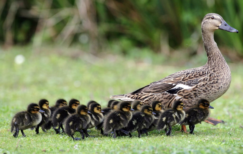 Make Way For Ducklings!