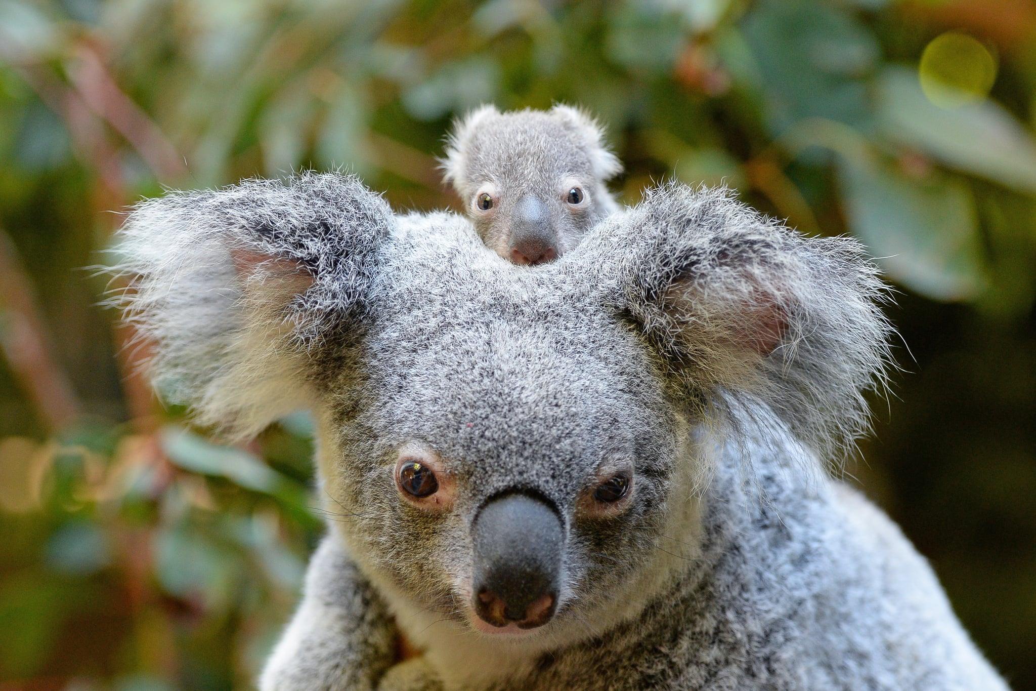 baby koala macadamia born at australia zoo 2017 popsugar australia news. Black Bedroom Furniture Sets. Home Design Ideas