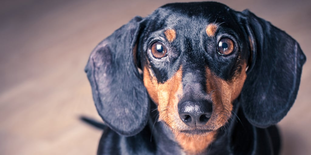 What Do You Know About Dachshunds?