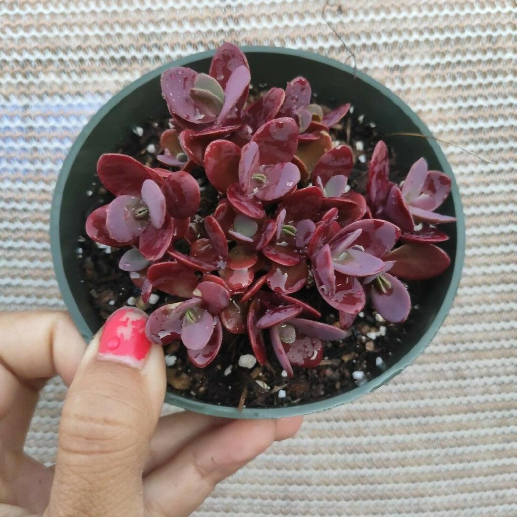 Sedum Cherry Tart Rare Succulent Plant