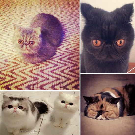 Smushed Face Cats of Instagram