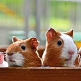 Awww . . . guinea pigs are precious!