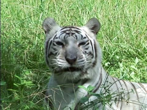 Video of Tigers and Catnip and Leopards and Catnip