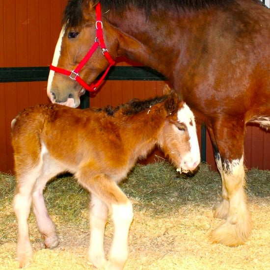New Budweiser Clydesdale Horse 2016
