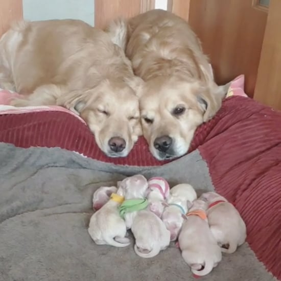 Golden Retriever Parents With Their Puppies | TikTok VIdeos