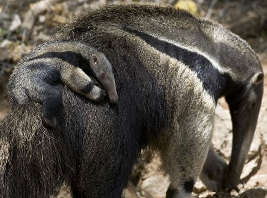 Aww, Just How Hungry Is a Baby Giant Anteater Named Arthur?