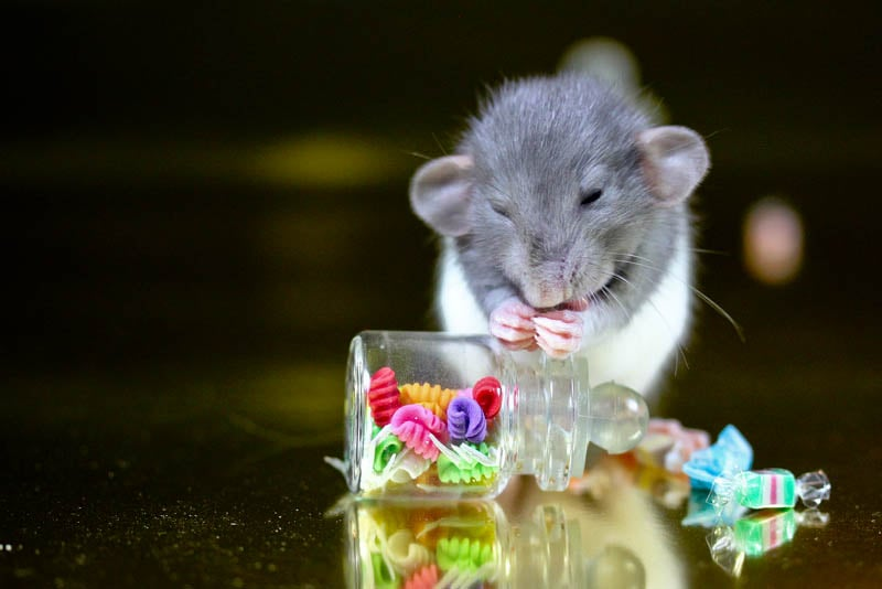 Mice are nice, but candy is dandy. Source: Flickr user La Tarte au Citron