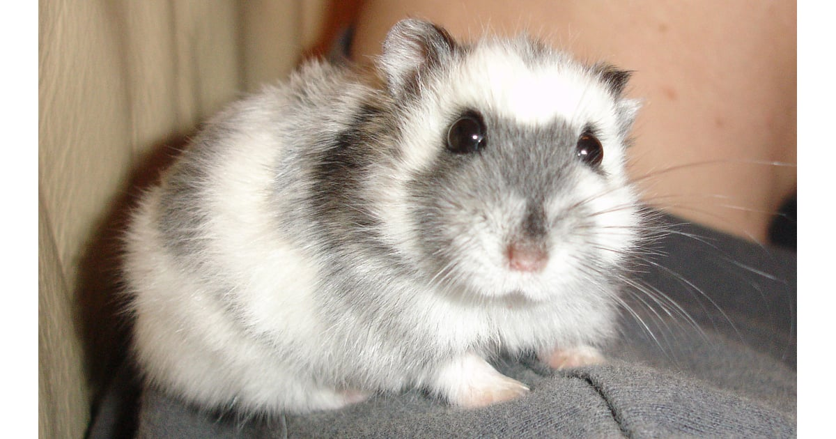 An Adorable Russian Dwarf Hamster Pictures Of Exotic