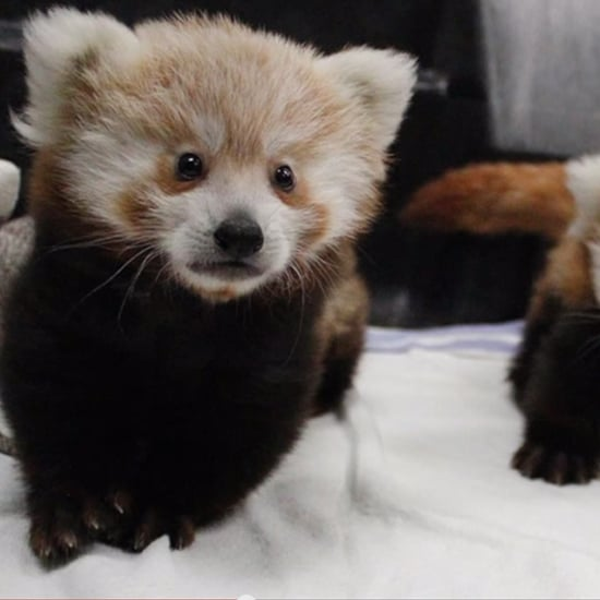 Baby Red Panda Twins