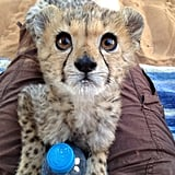 This rescue cheetah