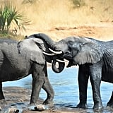 Female elephants are pregnant for 22 months. Elephants travel in matriarchal packs led by the largest and/or oldest female.