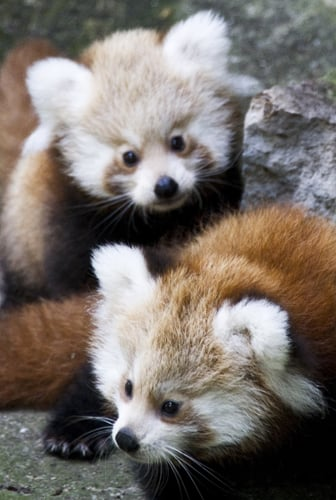Though it shares a name with the famous black-and-white bears, red pandas have been placed in their own family, Ailuridae, to reflect their status as creatures unlike any other animal on Earth.