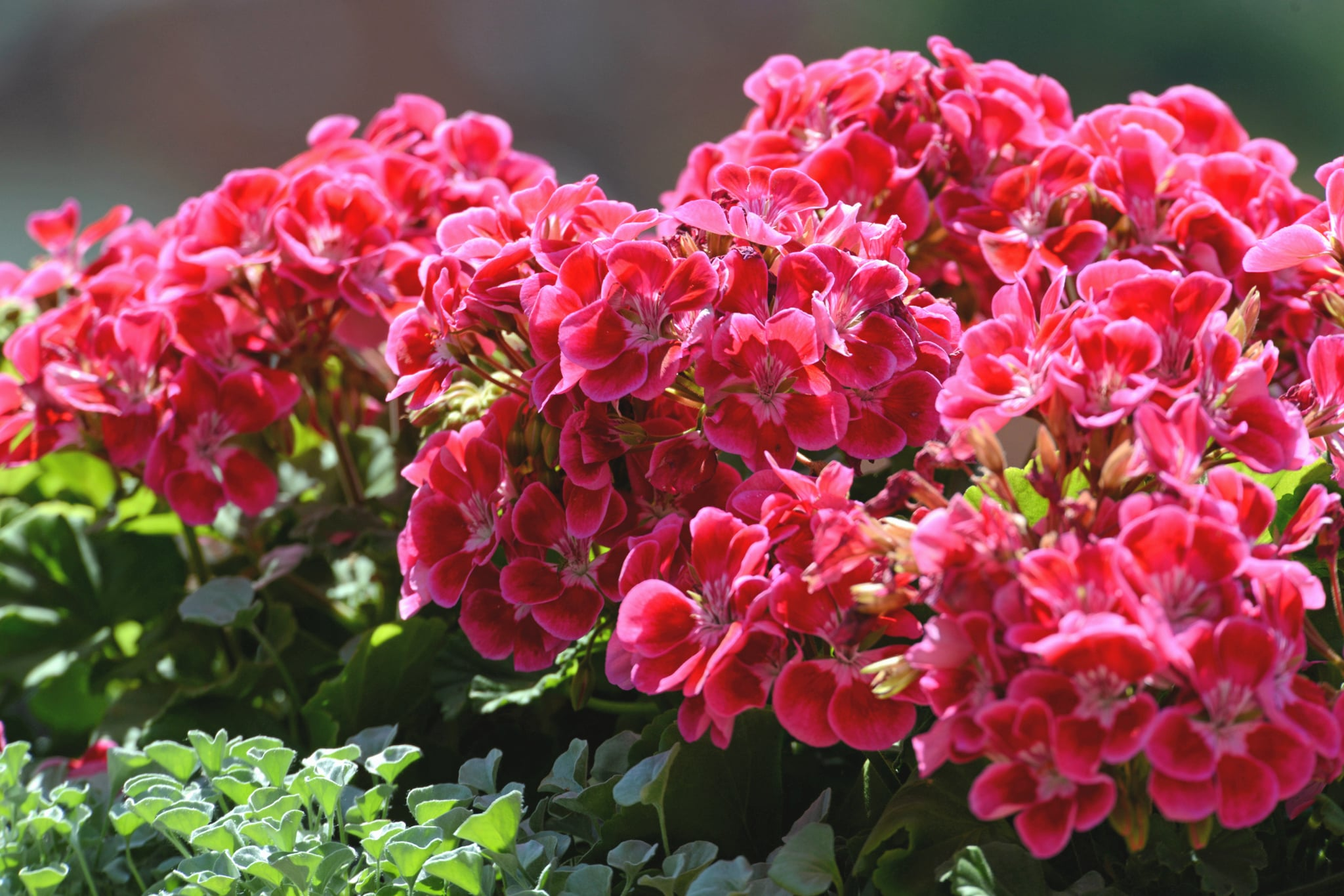 Geranium 13 Mosquito Repelling Plants That Will Save Your Skin