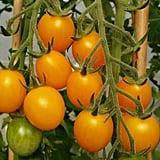 GrowJoy Golden Nugget Tomato Plant