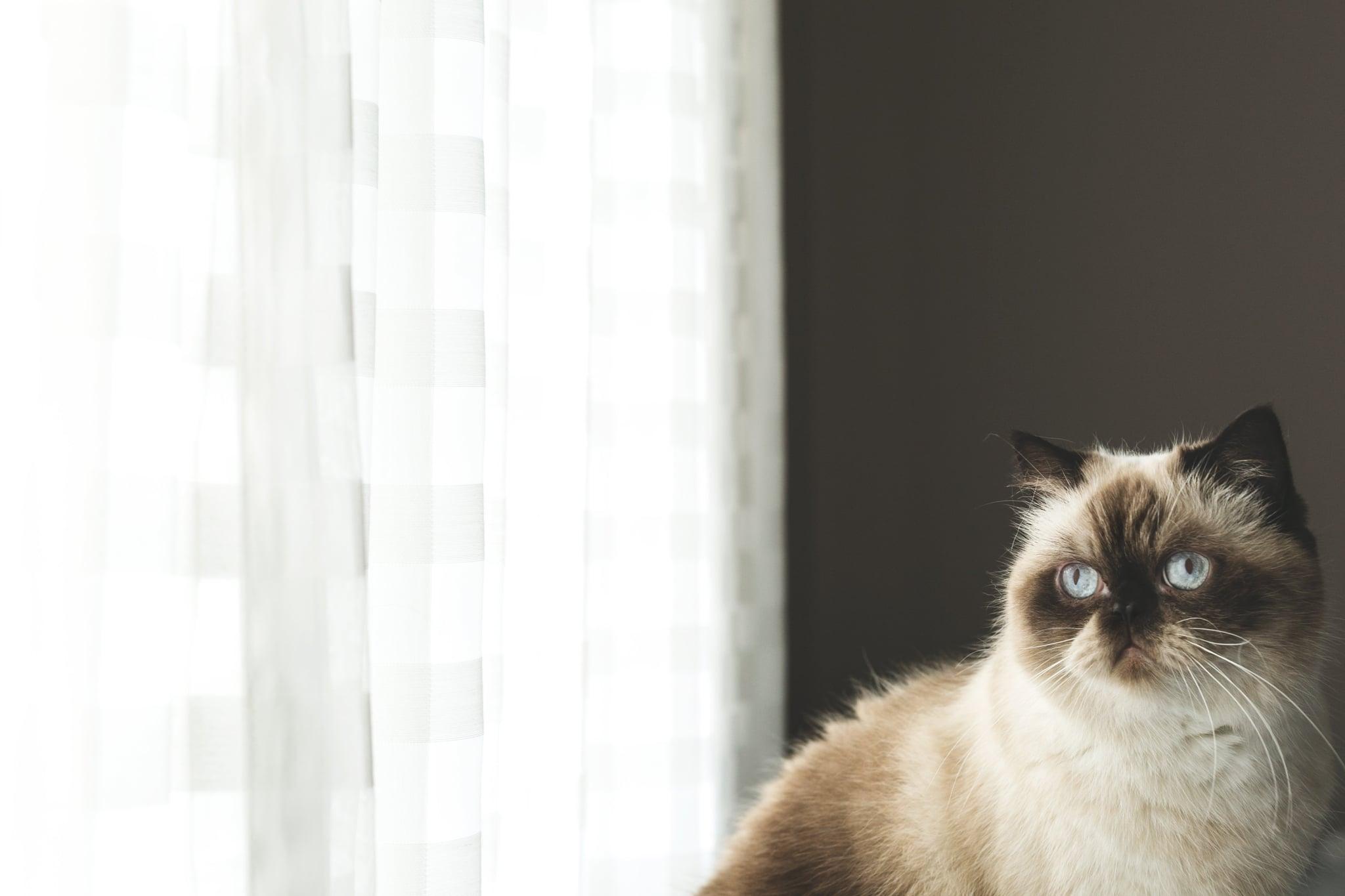 tmp_NGEoKK_907a50a8ed4cf59e_blue-eyed-persian-cat-by-window.jpg