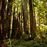 Redwood Forests in California