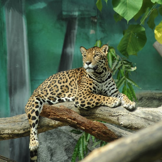 Child Falls Into Jaguar Exhibit at Arkansas Zoo