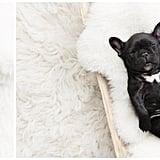 Newborn Photo Shoot With French Bulldog Puppy