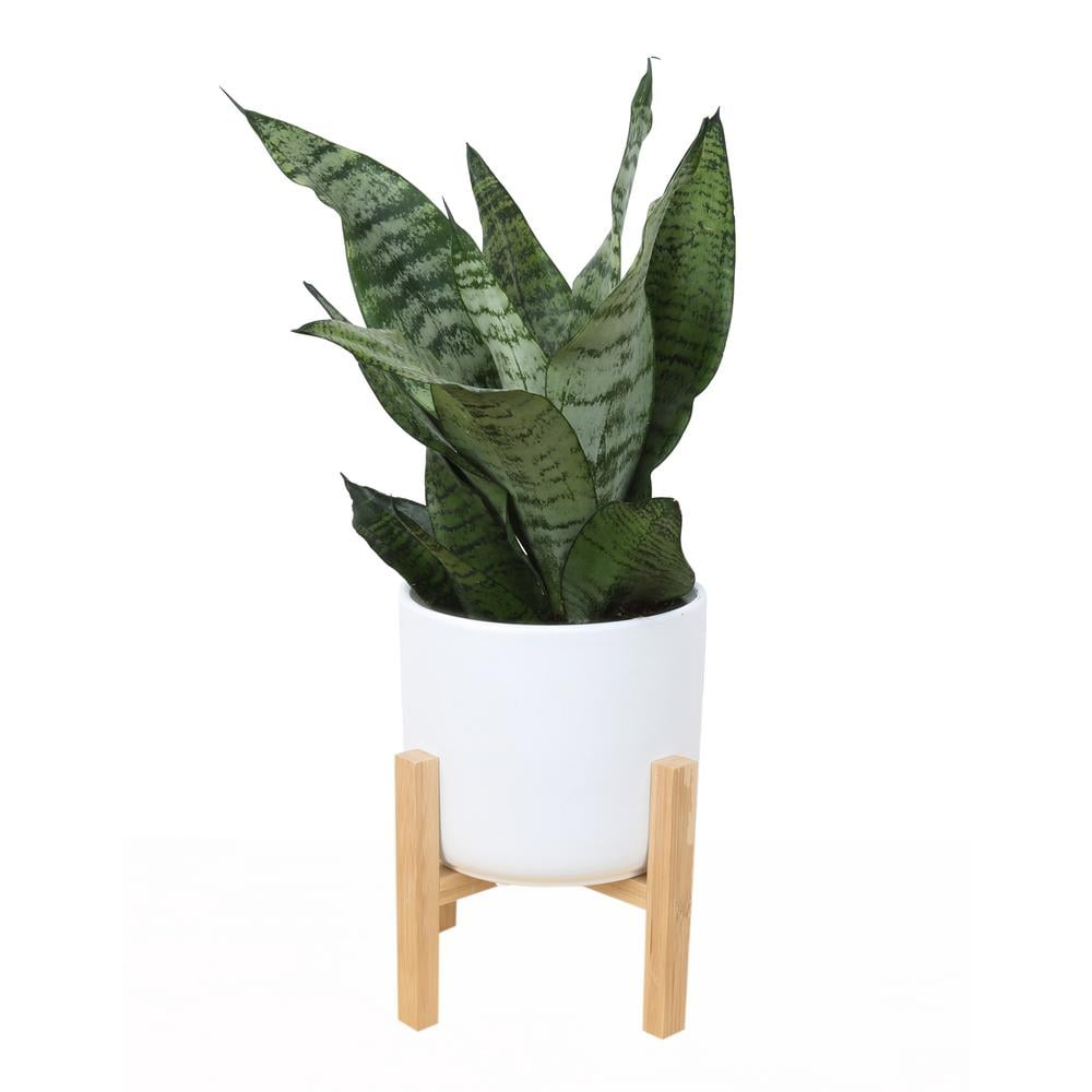Costa Farms 6 in. Sansevieria Laurentii Snake Plant in Mid Century Modern