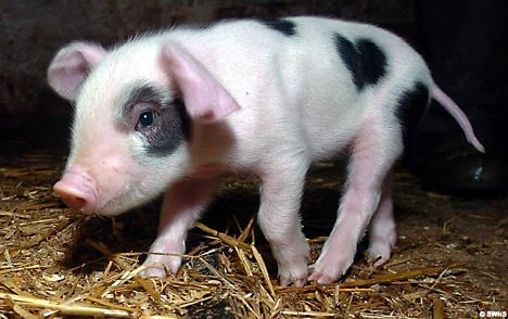 Cute Alert: Valentine the Piglet