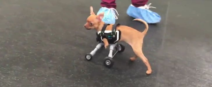 Two-Legged Dog Gets Wheels