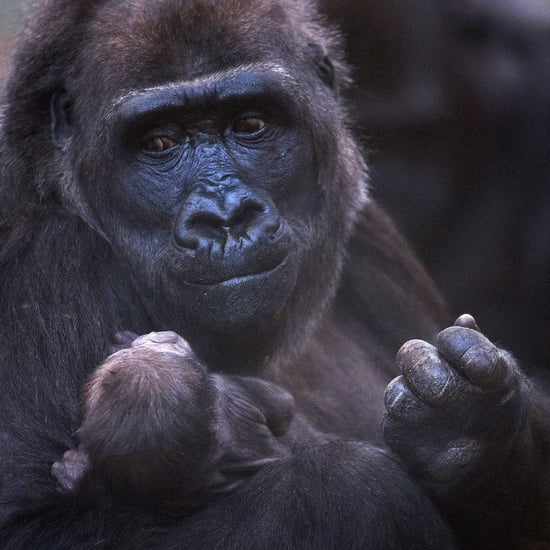 Baby Gorilla Born at Dublin Zoo