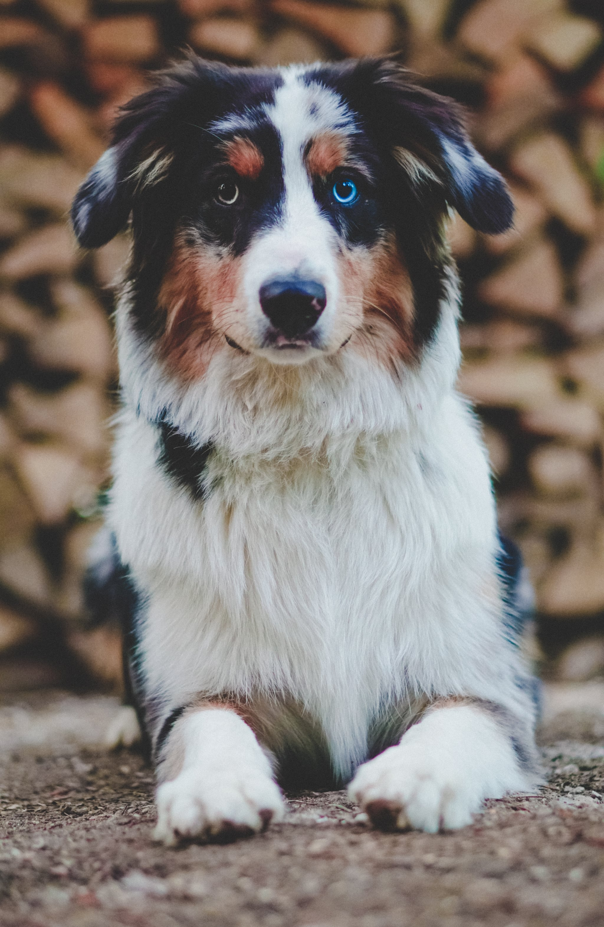 Cute Pictures Of Australian Shepherds Popsugar Pets
