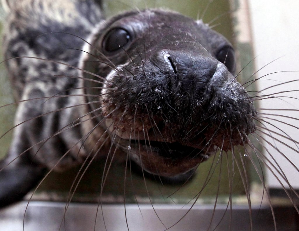 "The gray seal's scientific name, Halichoerus grypus, derives from the Greek words for ""hook-nosed sea pig."""