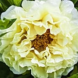 Peonies Naturally Occur in Many Colours, Including Shades of Red, Pink, Coral, White, and Yellow