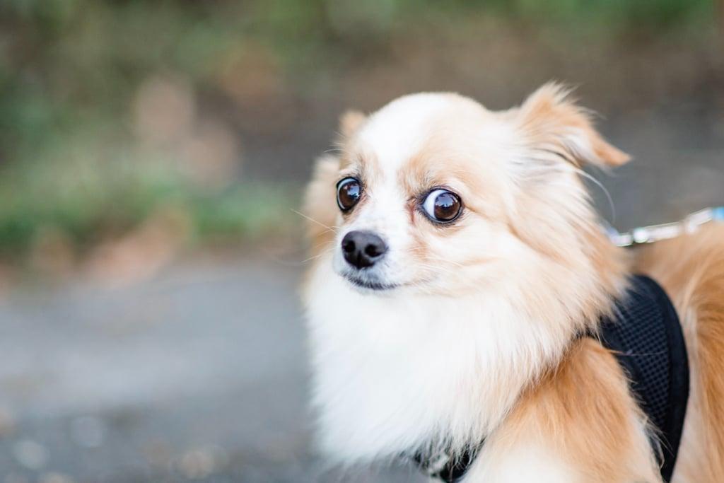 Cute Pomeranian Pictures Popsugar Pets