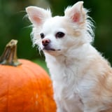 Pumpkin Treat Recipe For Dogs