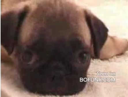 Cute Alert: Baby Pug