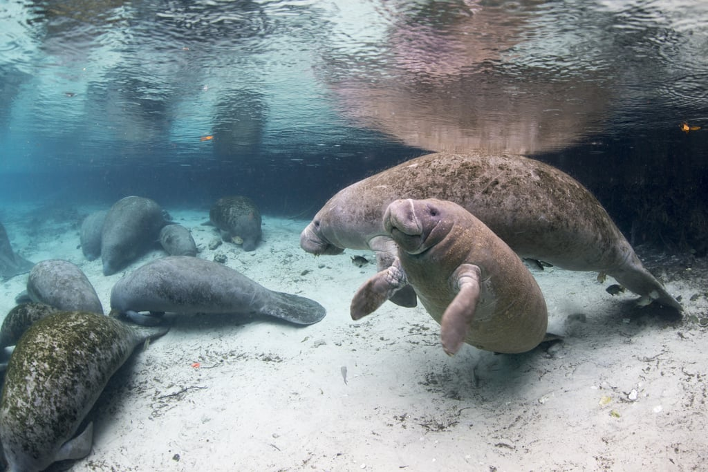 Snorkel With Manatees in Crystal River, Florida