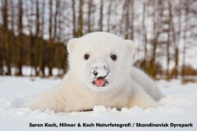 """Polar bears' scientific name, Ursus maritimus, means """"maritime bear"""" due to the fact that they spend most of their time in water. Source: Hilmer & Koch for Scandinavian Wildlife Park"""