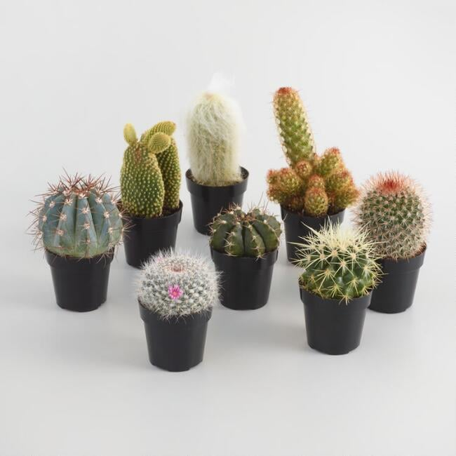 Small Assorted Live Potted Cacti Set of Three