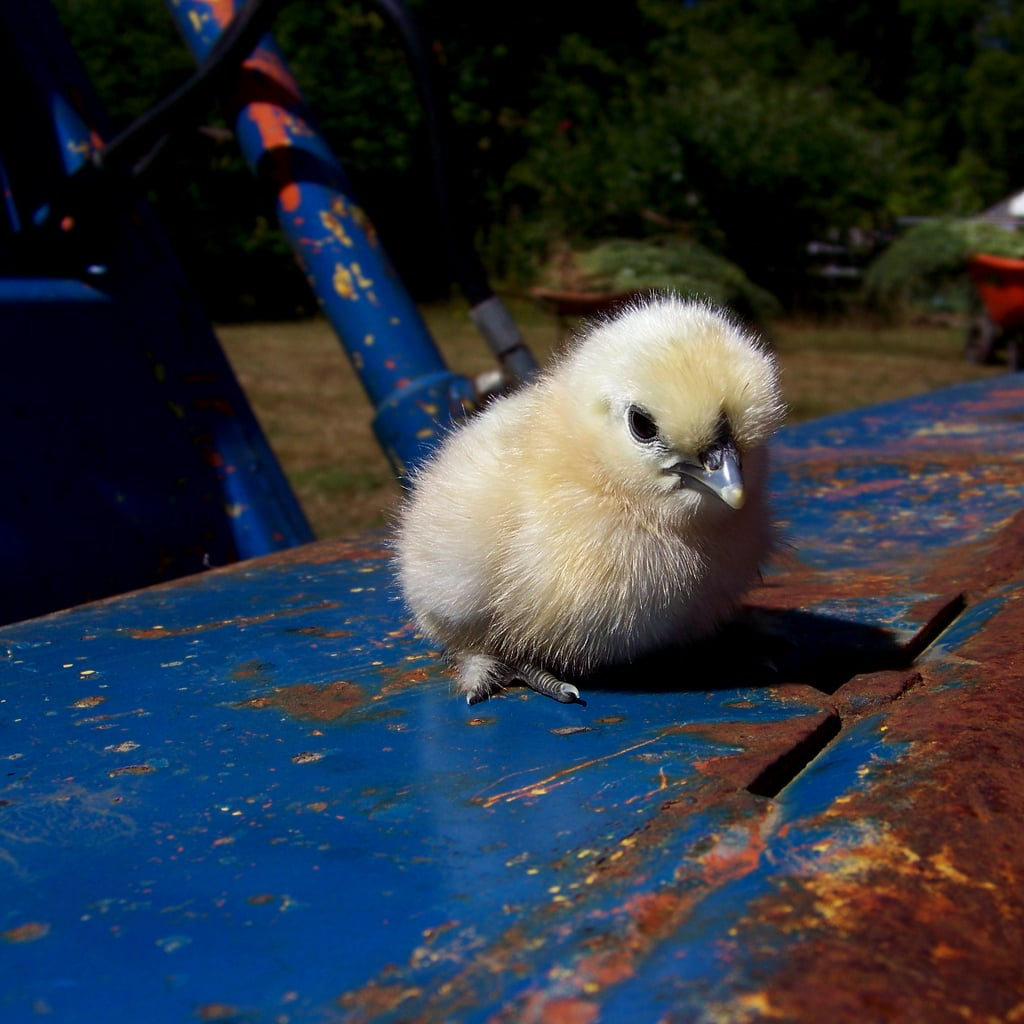 Down on the farm, this chick gets a better look at the oncoming Spring weather from a tractor perch. Source: Flickr User quacktaculous