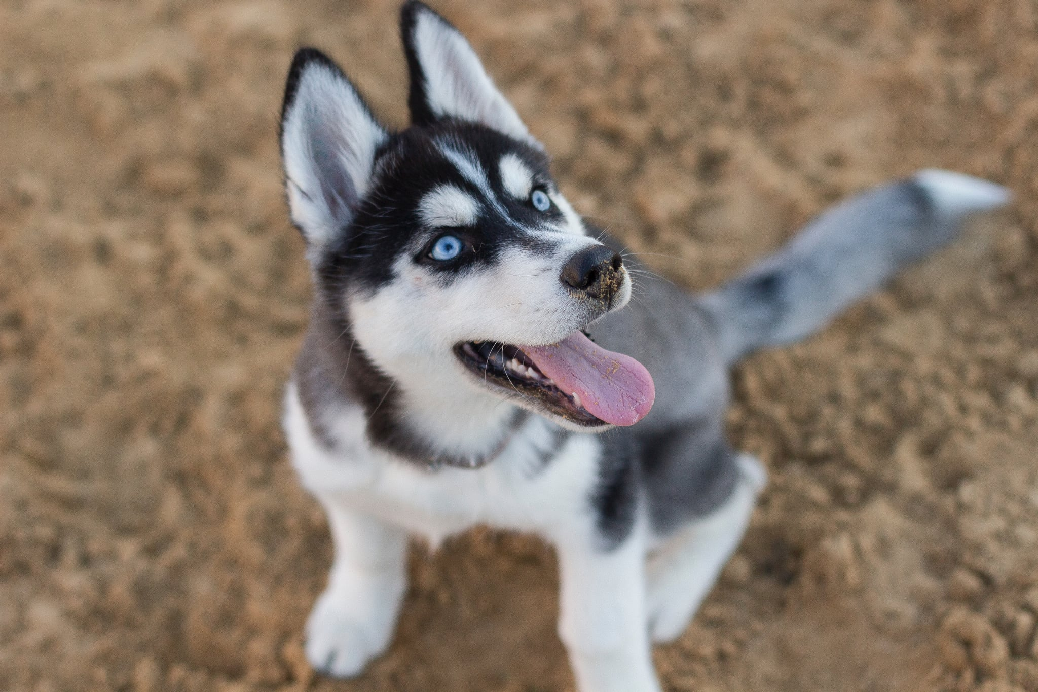 Cute Pictures Of Huskies Popsugar Pets